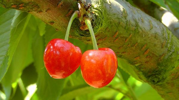 drzewka owocowe w Białymstoku
